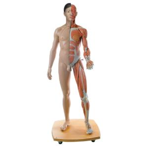 3B Scientific® Full-Size Dual Sex Figure