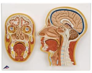 3B Scientific® Median and Frontal Sections of the Head