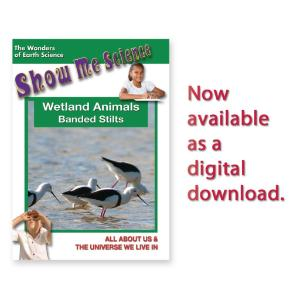 Show Me Science: Wetland Animals–Banded Stilts Video