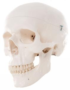3B Scientific® Skull