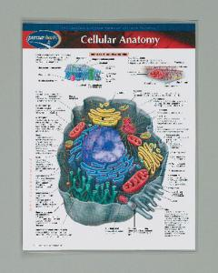 Cellular Anatomy Notebook Chart