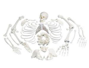 3B Scientific®  Disarticulated Skeleton
