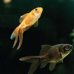 Ward's® Fantail Goldfish