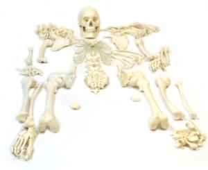 Eisco® Disarticulated Skeleton