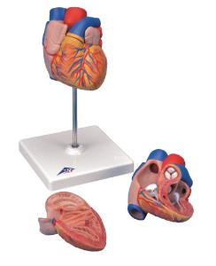 3B Scientific®  Life-Size 2 Part Heart