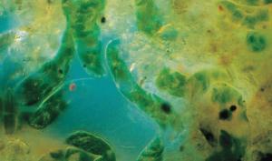 Ward's® Live Euglena sp. (gracilis)