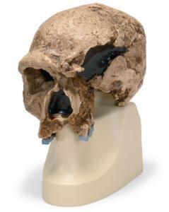 Replica Homo steinheimnensis Skull