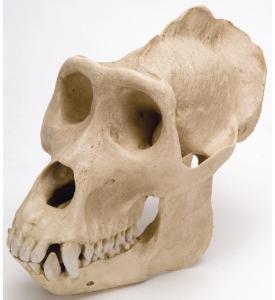 Gorilla Skull Male Replica