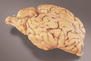 Fully Extracted Sheep Brain, Dura Mater Removed