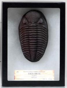 Trilobite in Case