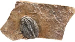 Trilobite in stone (small)
