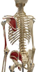 Rudiger® Life-Size Human Skeleton Model