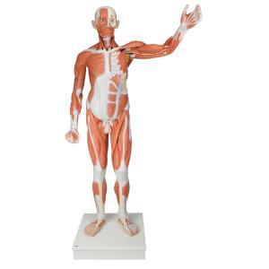 Lifesize Male Muscular