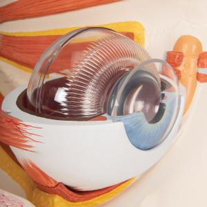 Eye 5 Times Full-Size