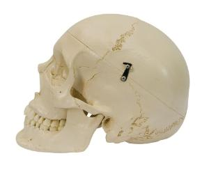 Rudiger® Dentition Skull