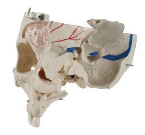 Rudiger Demonstration Skull
