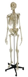 Rudiger® Flexible Skeletons