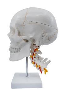 Numbered skull model