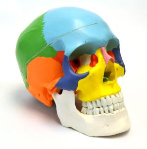 Eisco® Color Coded Skull