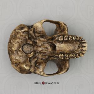 BoneClones® Economy Hominid Crania