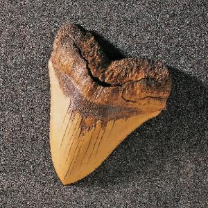 Carcharodon megalodon (Miocene)