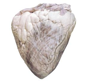 Bovine Heart, Preserved