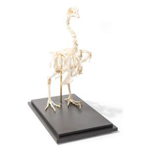Chicken Skeleton Articulated