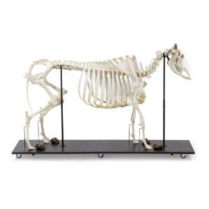 Cow Skeleton W Horns Articul on Base