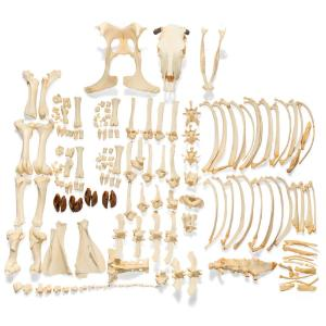 Cow Skeleton W Horns Disarticulated