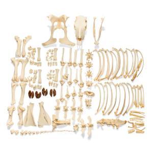 Cow Skeletonwo Horns Articul on Base