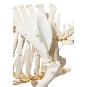 Pig Skeleton F Articulated