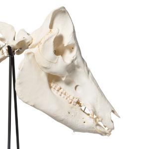 Pig Skeleton M Articulated
