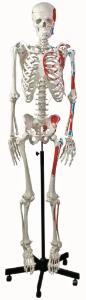 Altay® Muscular Skeleton