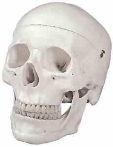 Altay® Skull