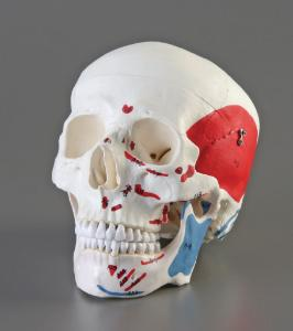 Altay® Numbered Muscular Skull