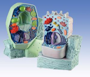 3B Scientific® Cell Anatomy Models Bundle
