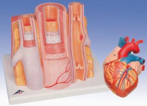 3B Scientific® Basic Circulatory System Bundle