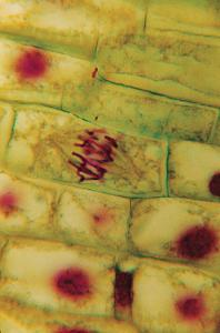 Onion Mitosis Slide, Quadruple Stained