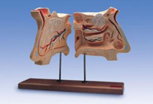Nose And Olfactory Organ Model