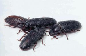 Ward's® Live Mealworm Larvae, Pupae and Beetles (Tenebrio)