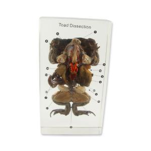 Real Bug Specimen Mount, Toad Dissection