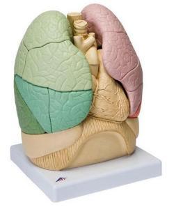 3B Scientific® Segmented Lung