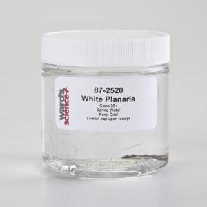 Live White Planaria <i>(Procotyla fluviatilis)</i>