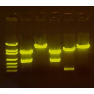 Gene mapping fluorescent