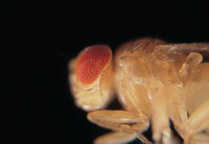 Ward's® Live <i>Drosophila melanogaster</i> - Chromosome III Mutants