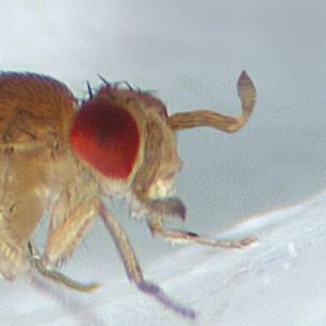 Ward's® Live <i>Drosophila melanogaster</i> - Chromosome III Mutants