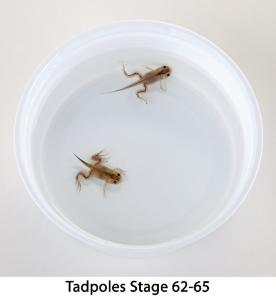 Ward's® Live African Clawed Frogs and Food (<i>Xenopus laevis</i>)