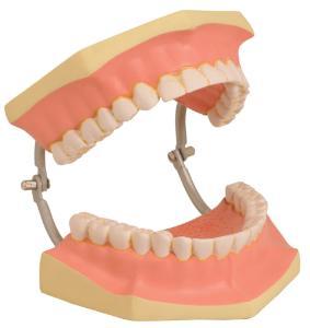 Eisco® Dental Care Model