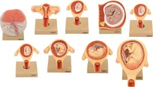 Eisco® Gestational Model Set