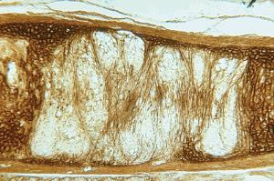 Elastic Cartilage, Mammal